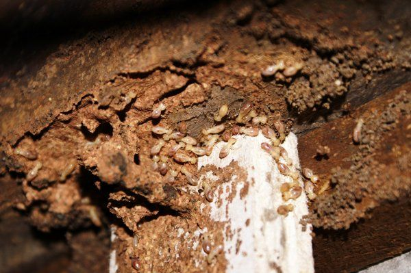 termitamor lutte contre les termites. Black Bedroom Furniture Sets. Home Design Ideas