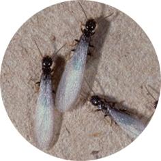 Termites sexués ailés