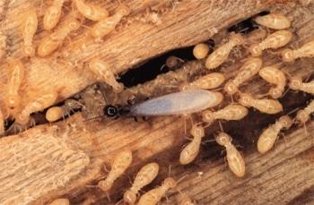 Un termite ailé reproducteur au milieu de termites ouvriers