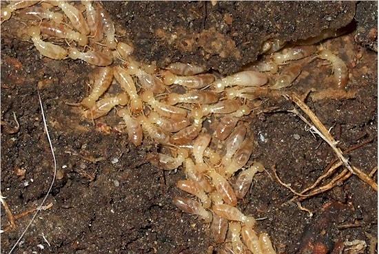 Colonie de termites