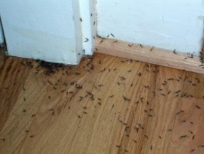 Essaimage de termites ailés reproducteurs dans une maison