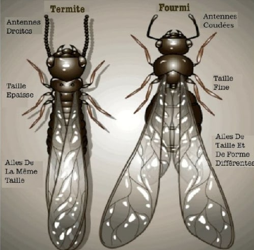 Termite ailé ou reproducteur et fourmi volante